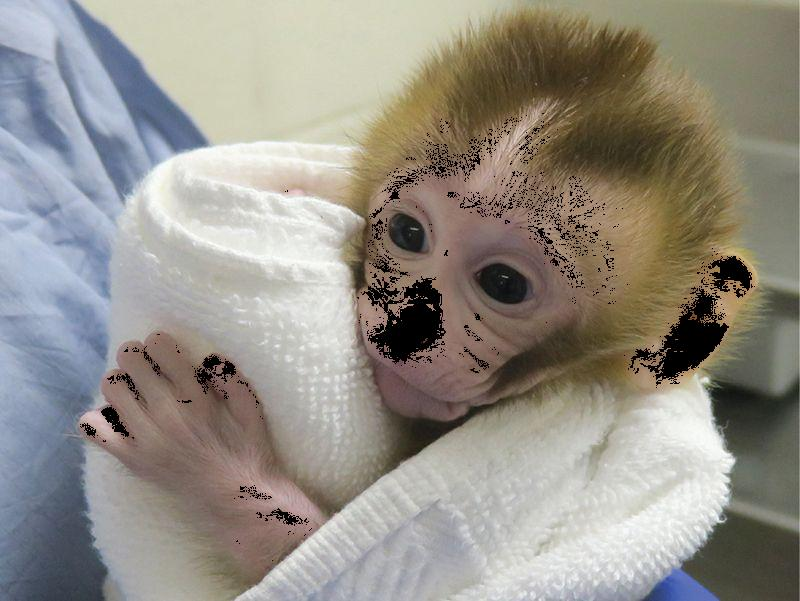 Baby monkey created from tissue ransplant
